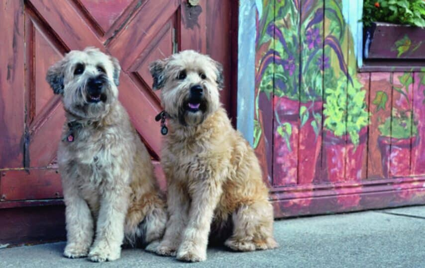 25 of the most popular hypoallergenic dog breeds